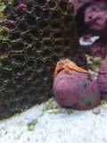 Hermit crab exoskeleton Stock Image
