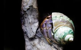Hermit crab exotic pet. On old wood in dark Royalty Free Stock Image
