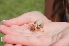 Hermit Crab. Found on the beach in Montego Bay, Jamaica Royalty Free Stock Photography