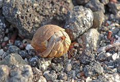 Hermit crab, Galapagos Islands Stock Images