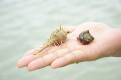 Hermit crab on hand Royalty Free Stock Images