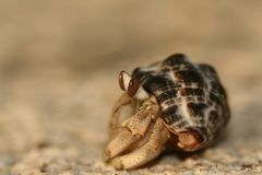 Hermit Crab in his shell. Hermit Crab in the shell on the beach. Sea life stock image
