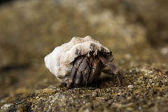 Hermit Crab in his shell Stock Photography