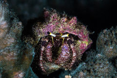 Hermit Crab on Indonesian Reef Royalty Free Stock Images