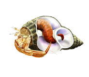 Hermit crab inside shell Royalty Free Stock Photos