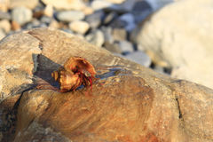 Hermit Crab inside а smalll sea snail shell on the stone Royalty Free Stock Photos