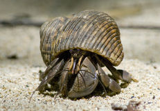 Hermit crab in its conch Stock Photos