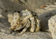 Hermit crab in its conch Stock Images