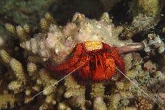 Hermit Crab, Kapalai Island, Sabah Stock Images