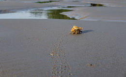 Hermit crab leaves the footprints in the sandy beach near the se Stock Images