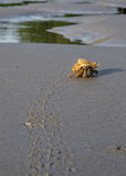 Hermit crab leaves the footprints in the sandy beach near the se Stock Photo
