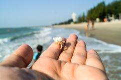 White hermit crab on hand look small. The hermit crab live in the beach of Thailand. The shell have many color. If it grows, it must change the shell. It look Stock Images