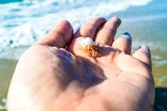 White hermit crab on hand look small. The hermit crab live in the beach of Thailand. The shell have many color. If it grows, it must change the shell. It look Stock Photography