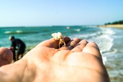 White hermit crab on hand look small. The hermit crab live in the beach of Thailand. The shell have many color. If it grows, it must change the shell. It look Royalty Free Stock Images