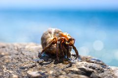 Hermit crab looking at you Royalty Free Stock Photos