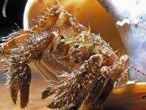 Hermit Crab - macro Royalty Free Stock Image