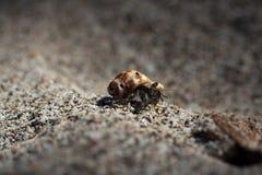 Hermit Crab macro Royalty Free Stock Photos