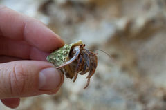 Hermit Crab macro. With blur background on sand beach in costa Rica Stock Image