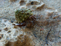 Hermit Crab macro. With blur background on sand beach in costa Rica Royalty Free Stock Photography