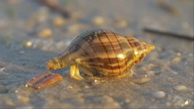Hermit crab macro view. Small hermit crab in the sand. Hermit crab walking along beach with waving sea blurry background. Hermit Crab in a shell. Warm light stock video footage