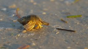 Hermit crab macro view. Small hermit crab in the sand. Hermit crab walking along beach with waving sea blurry background. Hermit Crab in a shell. Warm light stock footage