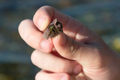 Hermit crab in man hands Royalty Free Stock Photography