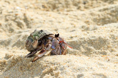 Hermit crab Masoala Royalty Free Stock Photos