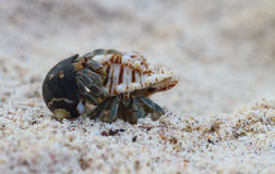 Hermit Crab Mating Royalty Free Stock Image