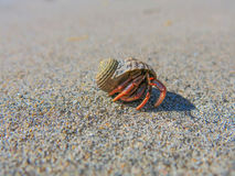 Hermit Crab on Miami Beach Royalty Free Stock Photos