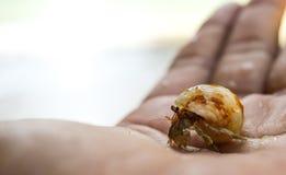 Hermit crab. Crab on my hand Stock Photos