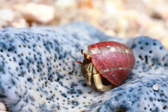 Hermit crab, pagurian. Walking on the beach Royalty Free Stock Photography