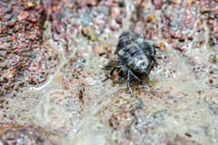 Hermit crab pagurian Royalty Free Stock Images