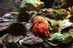 Hermit crab. & x28;Pagurus bernhardus& x29; walking with his shell near an urchin stock photo