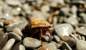 Hermit crab at the pebbles Royalty Free Stock Image