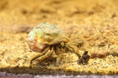 Hermit crab Royalty Free Stock Images