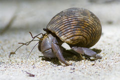 Hermit crab  protect. Close-up picture Royalty Free Stock Photos