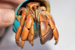 Hermit Crab with Purple Fiddler Claw 1 stock image