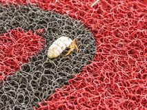 Hermit crab on a red-black plastic mat in the Dominican Republic royalty free stock images