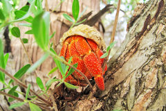 Hermit crab rest on the limb Royalty Free Stock Photography