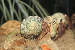 Hermit crab. On the rock Royalty Free Stock Image