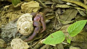 Hermit crab running on the ground in the forest. Thailand, Similan stock video footage