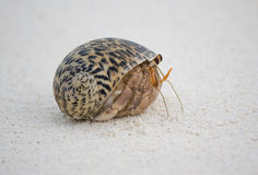 Hermit crab on the sand. Small crab in his shell on the sand Stock Photos