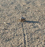 Hermit crab on a sandy beach Royalty Free Stock Photo