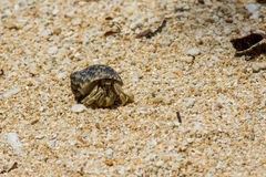 Hermit crab on sandy beach. Stock Images