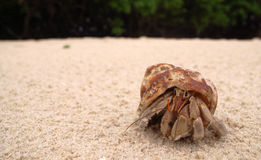 Hermit crab on sandy beach. Little hermit crab clawing slowing on the beach Royalty Free Stock Images
