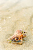 Hermit Crab in a screw shell, beach abstract background. Hermit Crab in a screw shell on wet sand of a tropical sea beach, selective focus Royalty Free Stock Photos