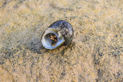 Hermit Crab in a screw shell Stock Photography