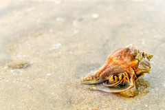 Hermit Crab in a screw shell. On wet sand of a tropical sea beach, selective focus Royalty Free Stock Photo
