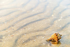Hermit Crab in a screw shell. On wet sand of a tropical sea beach, selective focus Royalty Free Stock Images