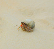 Hermit Crab on sea sunny beaches Royalty Free Stock Photography
